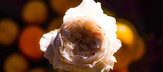 【ドラグラプロダクションズ製作、片岡鯖男】3.8フィートの週末4『ゴミすてばにバラが咲いたころ』_(865文字)