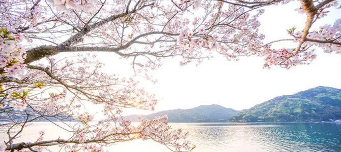 【サーフィン研究所移動完了日】ちょうどスーパーピンクムーン_美しい土佐桜と、淡路島の龍_伊豆風味_(1647文字)